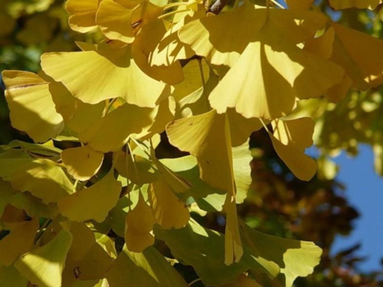Золотые листья дерева гинкго. Горячий Ключ