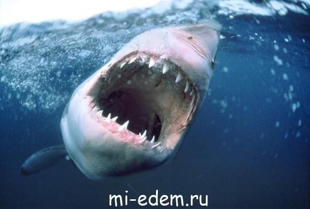 Есть ли акулы на Мальдивах