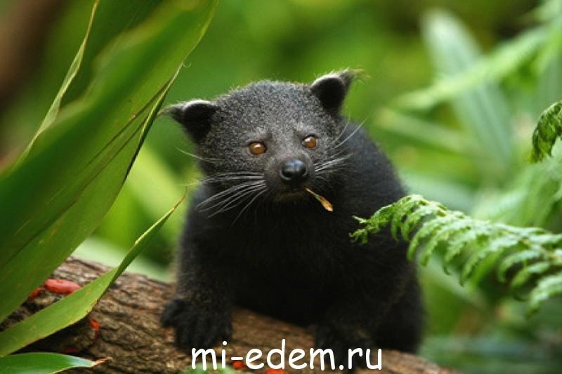 Медведекот